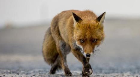 Londres obligée de recruter des snipers pour tuer les renards en surnombre: combien sont-ils à Paris? | Actualités immobilières | Scoop.it