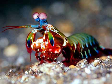 Mantis shrimp have the world's best eyes—but why? | Biosciencia News | Scoop.it