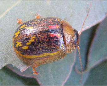 Paropsisterna selmani: a new eucalyptus leaf beetle found in Ireland and England | Pest Alerts | Scoop.it