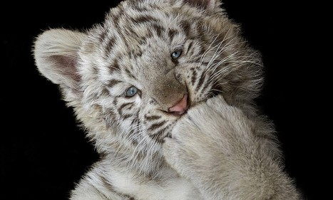 Is this the cutest tiger ever? | 100 Acre Wood | Scoop.it
