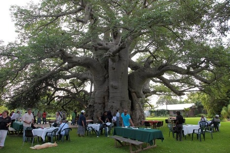 A Pub Inside South Africa's Biggest and Oldest Baobab Tree - When On Earth - Places to See, Things to Do, Gear to Get | Offbeat Travel | Scoop.it