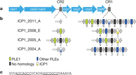 A bacteriophage encodes its own CRISPR/Cas adaptive response to evade host innate immunity | KLin's reading | Scoop.it