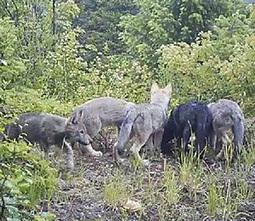 Washington Department of Wildlife Secretly Sends Aerial Gunners for Wolf Pack | One World Enviromentalism | Scoop.it