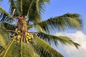 Disease threatens Pacific coconut gene bank - Radio Australia | Effectors and Plant Immunity | Scoop.it