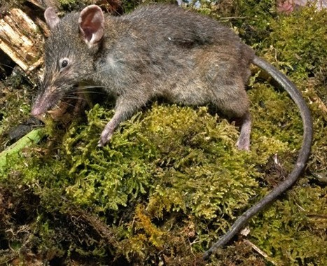 Rats! New rodent species that doesn't chew, lives on earthworms discovered in Indonesia | Things from The Internet | Scoop.it