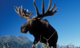 Moose mortality: scientists try to explain mystery of animals' decline | Agua | Scoop.it