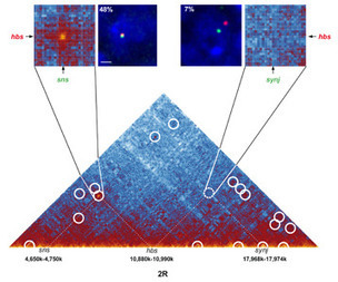 L'organisation 3D des chromosomes très finement cartographiée - Techno-science.net | Cartographie culturelle | Scoop.it