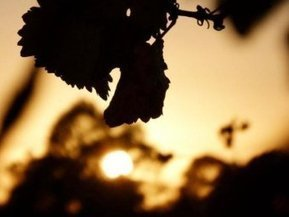 Hunter vignerons under scrutiny by Fair Work during fruit-picking | Viticulture | Scoop.it