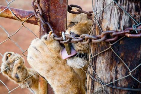 IUCN - Terminating the hunting of captive-bred lions - Conservation Action Trust   Volunteer in Africa   Scoop.it