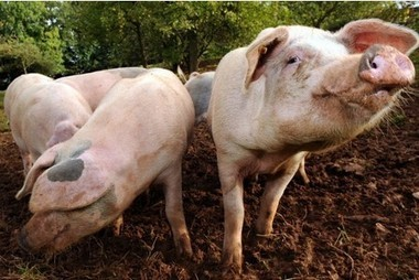 British pig industry focus of new multi-million research project | ESRC press coverage | Scoop.it
