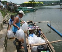 Rural aquaculture in the Philippines (Stock now/Pay later Program) | Tilapia | Scoop.it