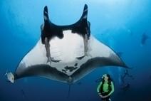 Plonger pour voir les requins et les Mantas aident à leur préservation | Rays' world - Le monde des raies | Scoop.it
