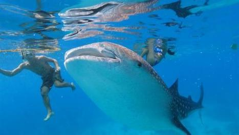 Hope Emerges for Whale Sharks, Despite New Endangered Status | Advocating for Wildlife | Scoop.it