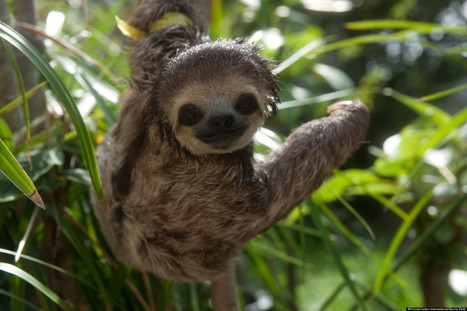 Sloth Images Feature Photogenic Creatures Rescued After Home Destroyed In ... - Huffington Post   sloths   Scoop.it