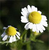 La manzanilla beneficios y usos | LA MANZANILLA UNA MARAVILLA.(Matricaria chamomilla L. ) | Scoop.it