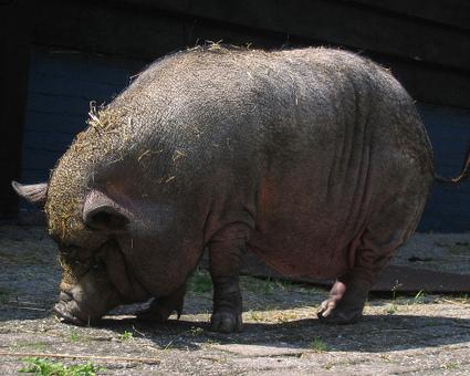10 life-saving animals: Pot-bellied pig | Animals Make Life Better | Scoop.it