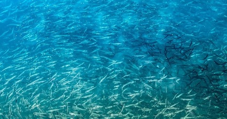 The Aquaculturists: 24/08/2016: Mid-Atlantic Fishery Management Council puts limits on forage fish species | Global Aquaculture News & Events | Scoop.it