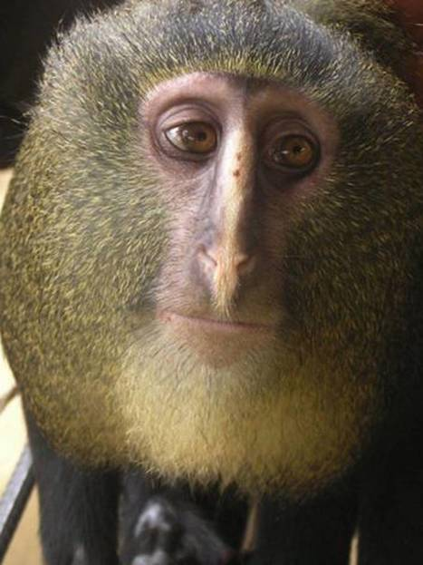 New monkey species identified in Africa | curating your interests | Scoop.it