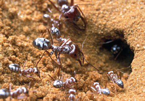 Science décalée : des fourmis se font épiler pour la science | EntomoScience | Scoop.it
