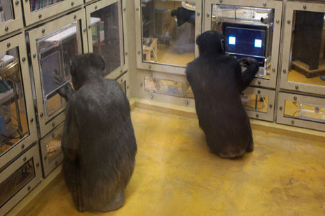 Chimps Best Humans at Game Theory | HumanNature | Scoop.it
