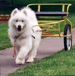 Dịch vụ thức ăn cho chó Samoyed - Thức ăn cho thú cưng | nanapet | Scoop.it