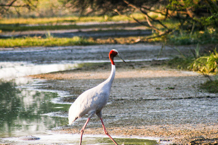 A tale of wildlife excursion in India with Bharatpur Bird Sanctuary | Rajasthan Tourism | Scoop.it