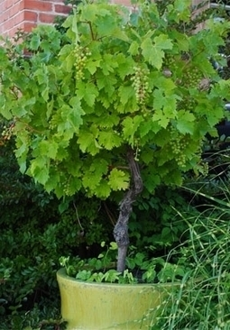 101 Gardening: Did you know that grapes can be trained into patio trees? | Backyard Gardening | Scoop.it