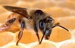 Disparition des abeilles: Bruxelles provoque la colère des fabricants d'insecticides | 694028 | Scoop.it