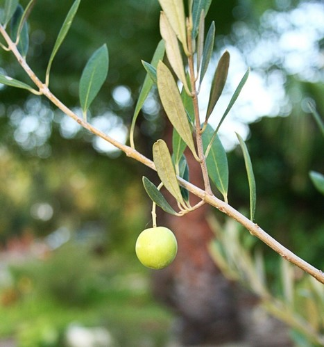 Decoding A Superfood: The Health Benefits Of Extra Virgin Olive Oil | Alfredo Nardelli | Scoop.it