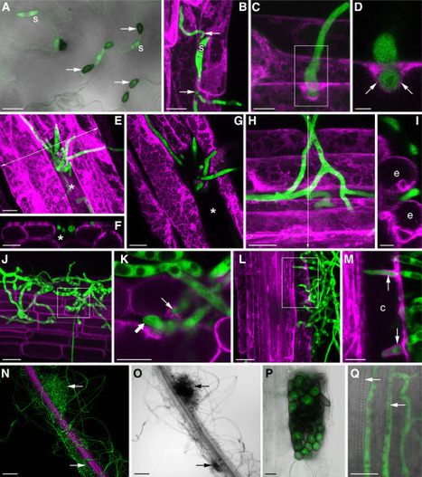Cell: Root Endophyte Colletotrichum tofieldiae Confers Plant Fitness Benefits that Are Phosphate Status Dependent | My papers | Scoop.it