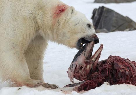 C'est une première, des #ours polaires ont été vus en train de dévorer des #dauphins dans l'#Arctique. En cause ? Le réchauffement climatique | Arctique et Antarctique | Scoop.it