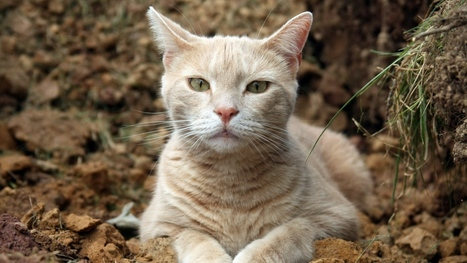 Cat Muzzle Eyes Download Image #4193 Wallpaper | animaljetz.com | Animal Wallpaper | Scoop.it