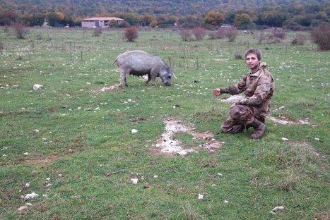 Sur le Larzac, l'éleveur de porcs au naturel voit l'avenir en rose | Damien CADOUX | Scoop.it