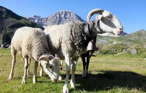 Faut-il vacciner les brebis pour sauver les isards ? | Vallée d'Aure - Pyrénées | Scoop.it