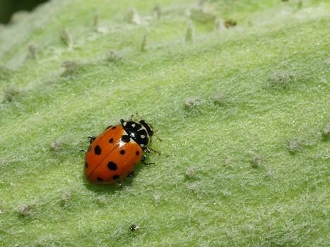 Photos de coccinelles : Coccinelle convergente - Hippodamia convergens - Convergent lady beetle | Fauna Free Pics - Public Domain - Photos gratuites d'animaux | Scoop.it