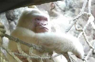 El genoma de Copito de Nieve revela las causas de su albinismo | 3ª Evaluacion Alvaro Pasucal | Scoop.it