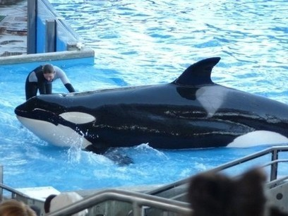 Survey Shows People Are Against Whales Kept in Captivity at Places Like SeaWorld - Mainpage :: News :: Travel Today News | Dolphins | Scoop.it
