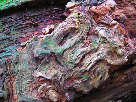 Poachers are Destroying California's Giant Redwood Trees | Biodiversity protection | Scoop.it