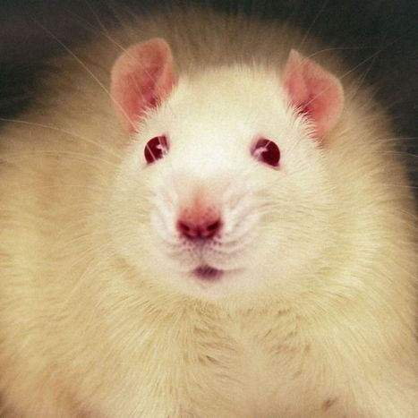Rats Show Regret After Making Wrong Choices, Scientists Say | Amazing Science | Scoop.it