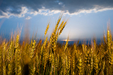 Study finds climate change may dramatically reduce wheat production - K-State (2015) | Ag Biotech News | Scoop.it