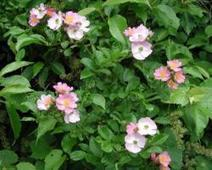 Reducing The Spread Of Rose Rosette Disease - Greenhouse Grower - Article | Annie Haven | Haven Brand | Scoop.it