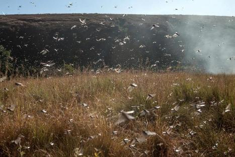 Argentina Locust Plague: Armageddon, End of Days Or Climate Change Disaster? | Agriculture news & innovations | Scoop.it