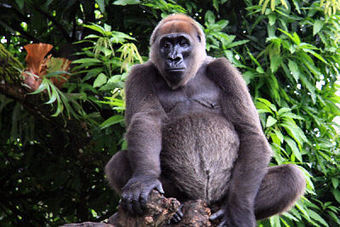 World's most endangered Gorillas caught on camera! | Life on Earth | Scoop.it