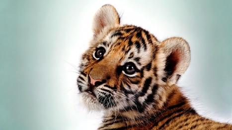 Amazing Tiger Kitten Big Cat Cub Predator Pict #4215 Wallpaper | animaljetz.com | Animal Wallpaper | Scoop.it
