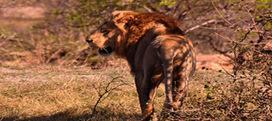 Kruger Park Sightings: Headphones Required? | Kruger & African Wildlife | Scoop.it