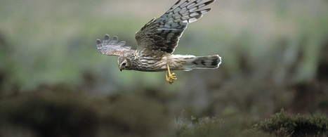Where to see hen harriers | British wildlife | Scoop.it