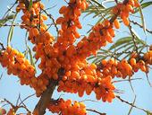 Saúde pelas Plantas: Frutas Exóticas - Espinheiro-Marítimo | Ciências exatas | Scoop.it