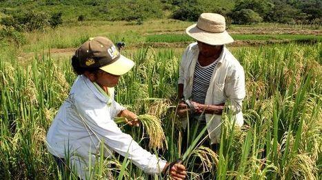 Siembra de arroz, en aprietos - La Prensa | Alimentos | Scoop.it