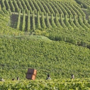 Champagne cuts yield for 2013 | Vitabella Wine Daily Gossip | Scoop.it