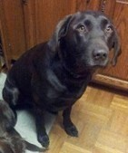 Missing Chocolate Lab Found; Craigslist Gets Him Home | Minnesota Pet News | Scoop.it